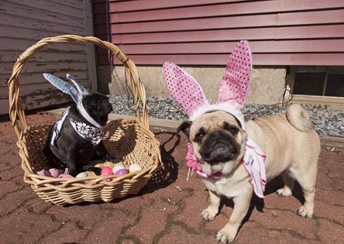 Blog Easter Pugs