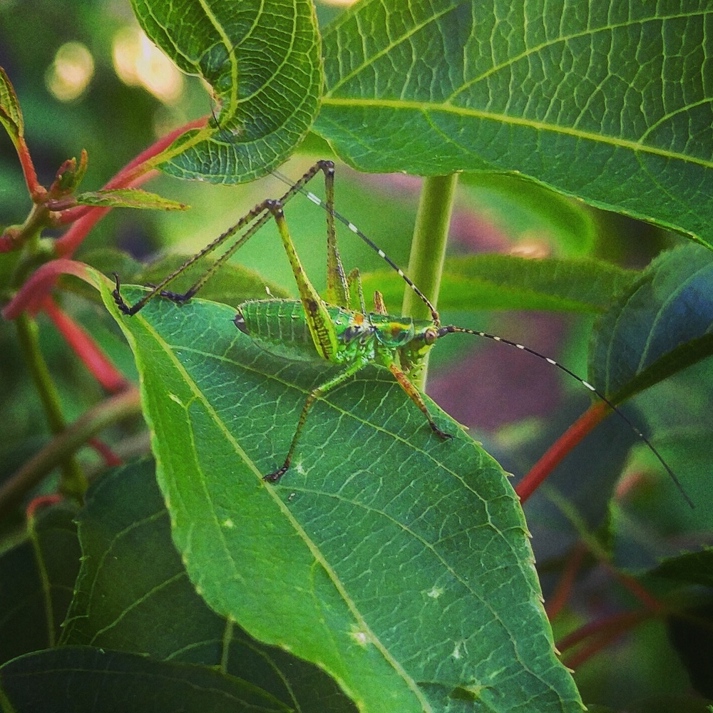 hardy kiwi vine serves to showcase this insect's camouflage