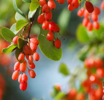 """The barberry, also known by Iranians as """"Zereshk""""."""