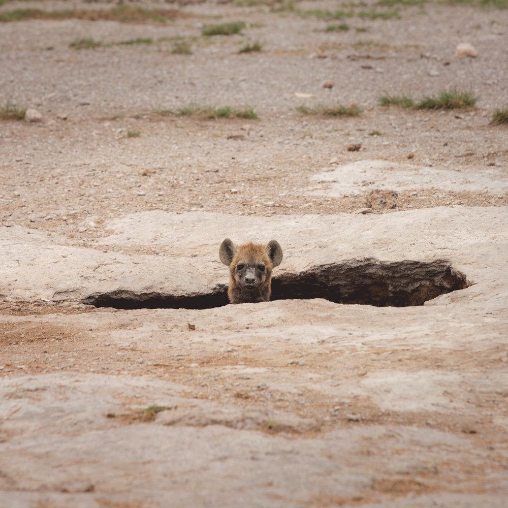 Hyena Amboseli