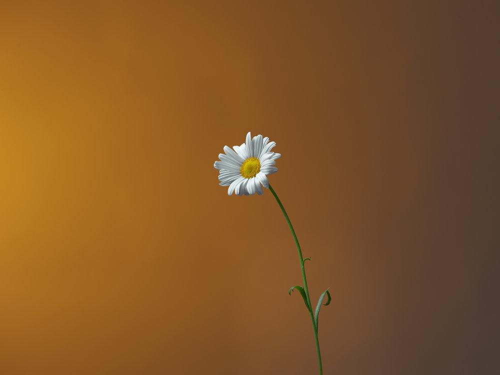 Daisy Flower - Studio