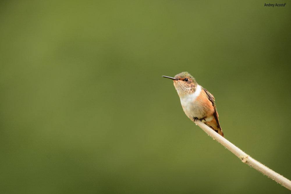 Scintillant Hummingbird.jpg