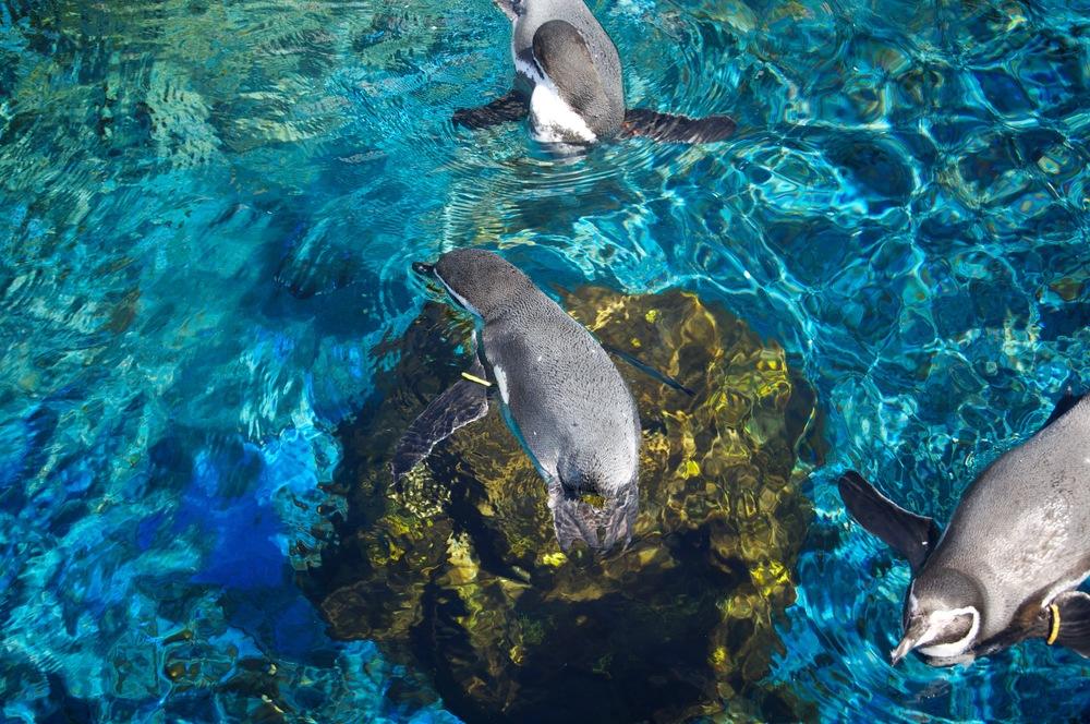 Swimming Penguins.jpg