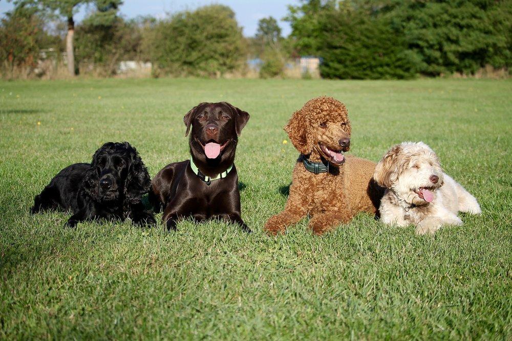 dogs-2200676_1920.jpg