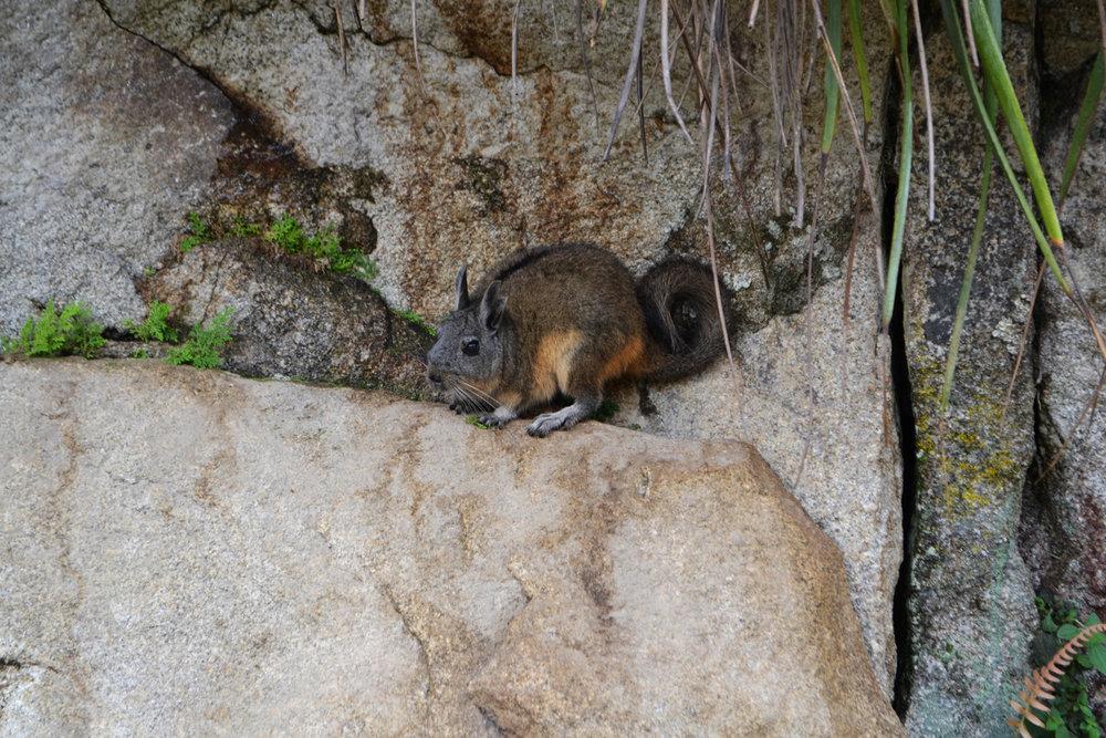 Chinchilla in Machu Picchu