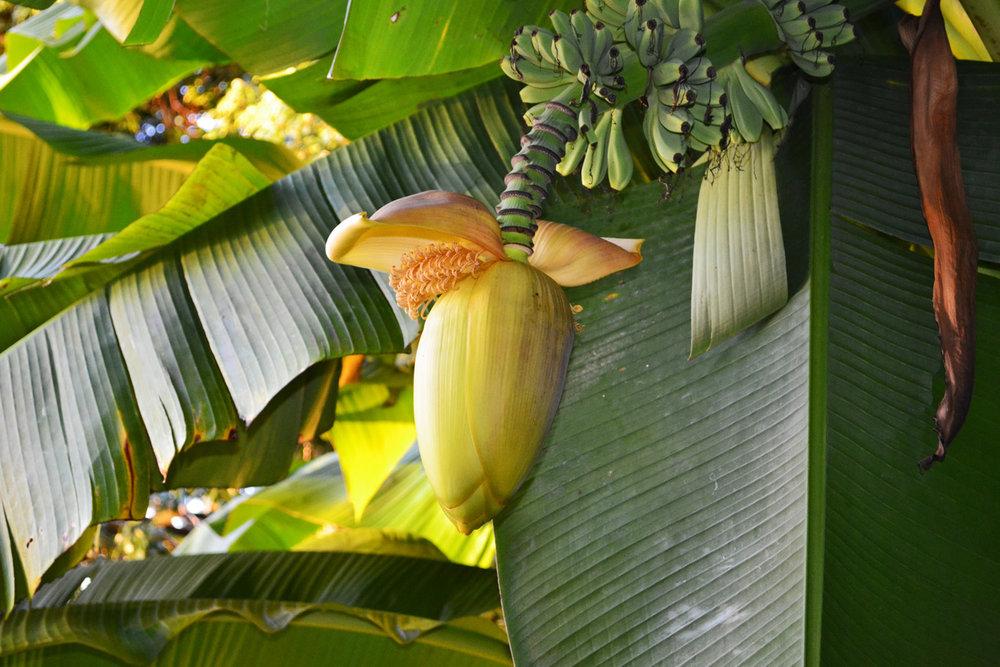 Banana flower in Batumi botanic gardens