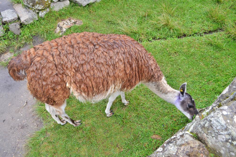 Lama grazing at Machu Picchu