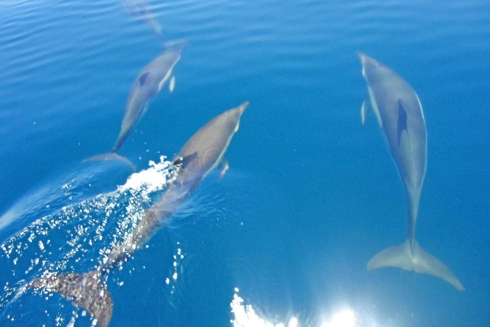 Dolphins near Lagos
