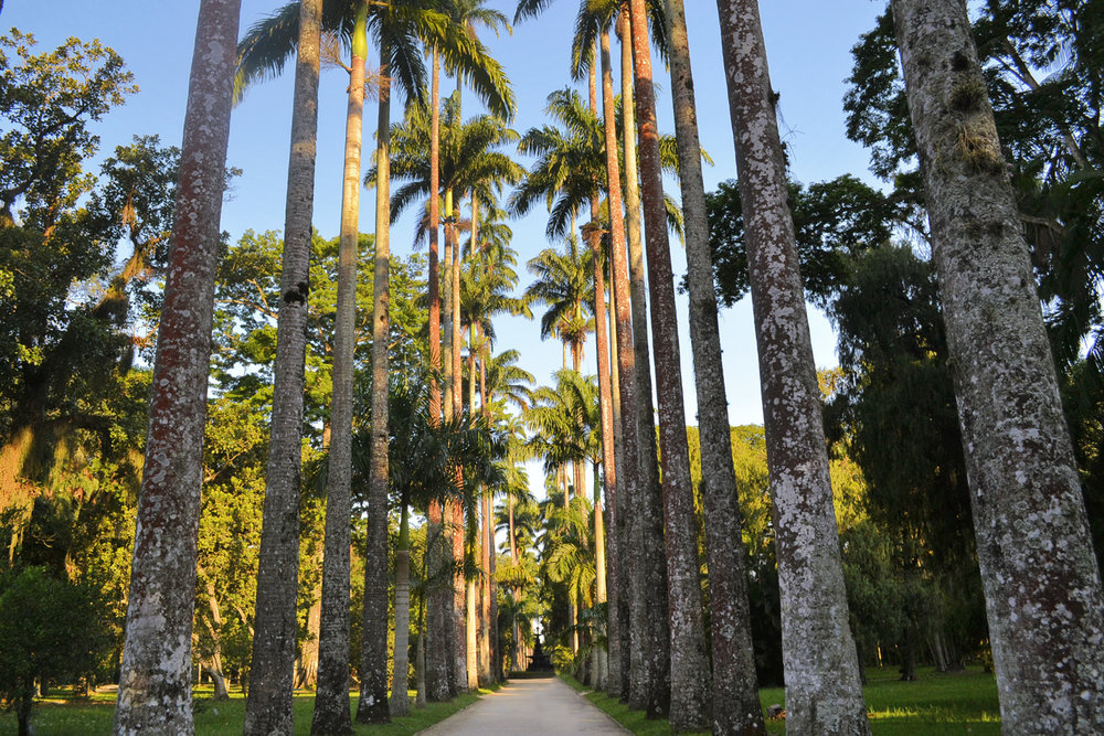Botanic gardens - the avenue of royal palms