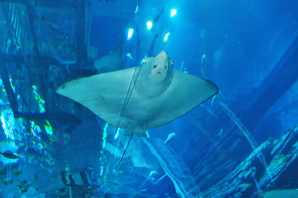 Manta Ray in Dubai Aquarium