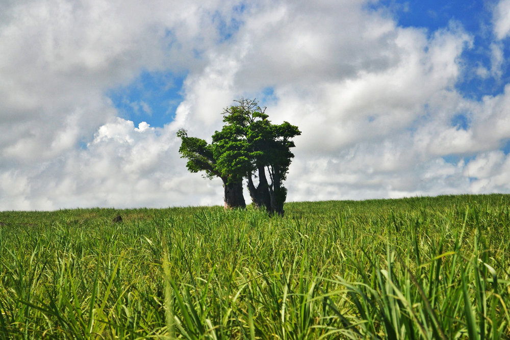 Baobabs in a sugar cane field