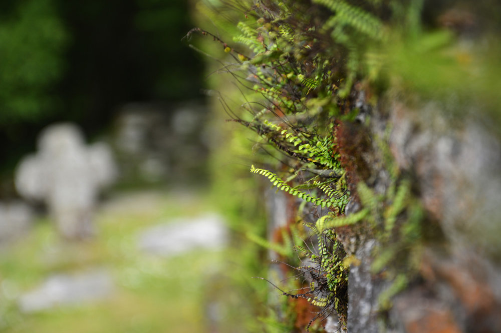 Ferns on the walls of Reefert church