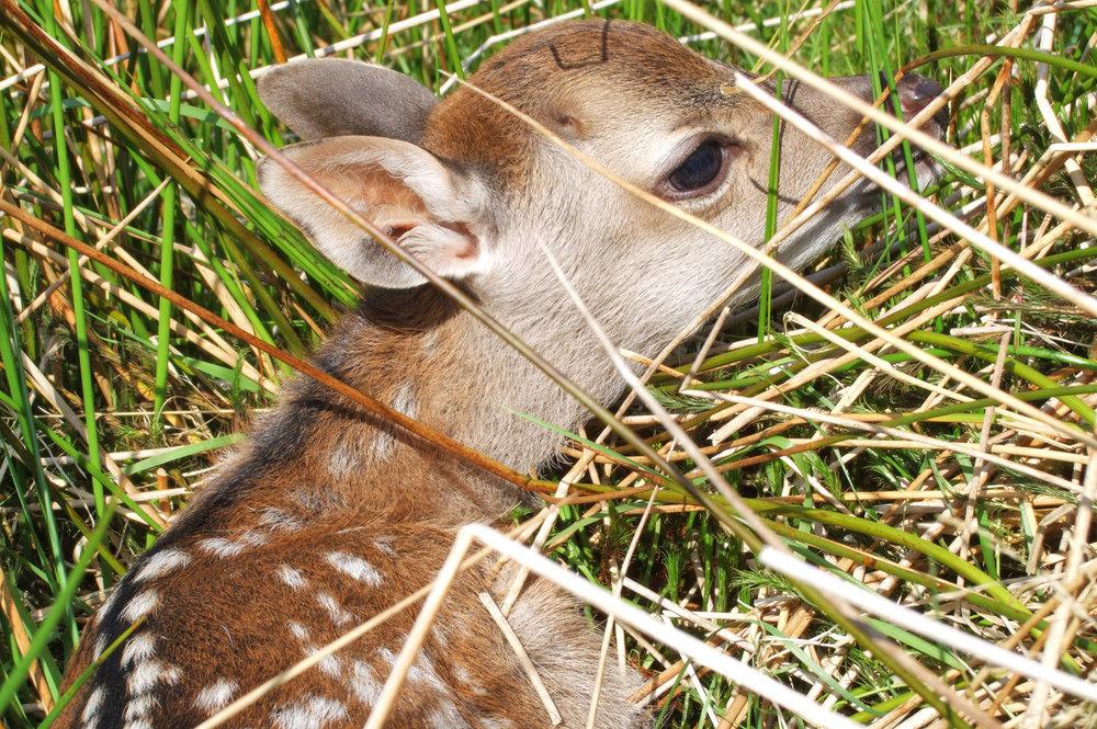 A deer calf