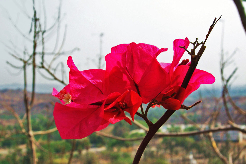 Bougainvillea flower contrasting with desert landscapes