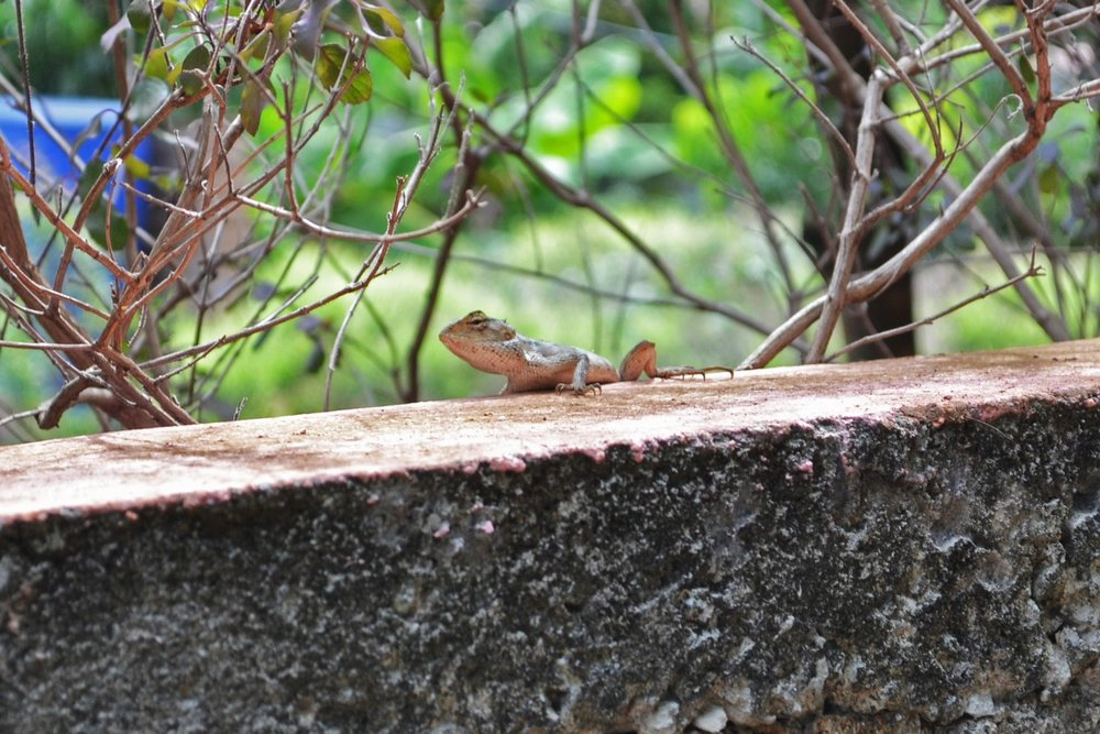 A lizard in Mauritius