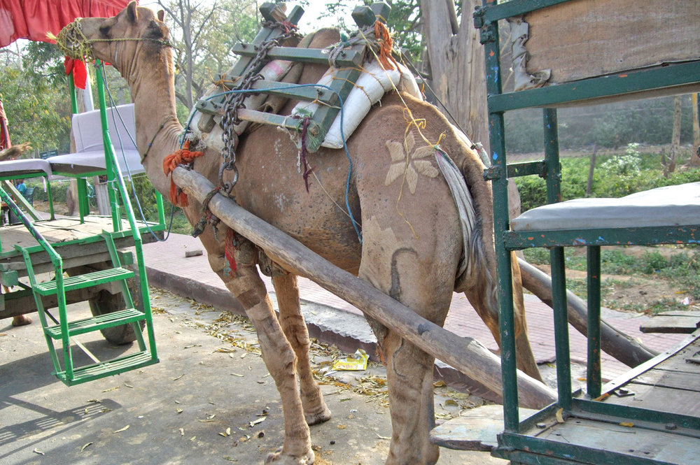 Camel at the gate to Taj Mahal
