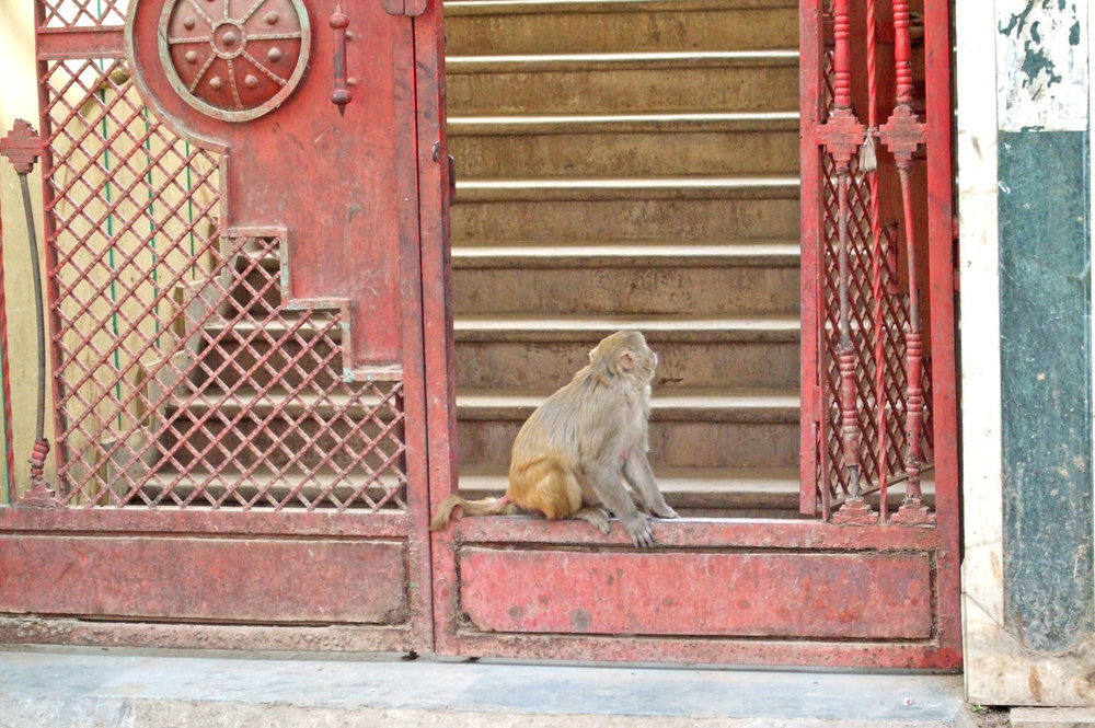 A monkey in Mathura