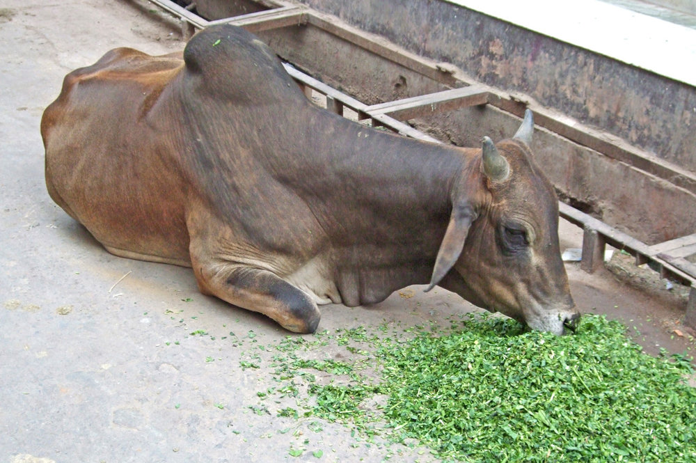 A cow in Mathura
