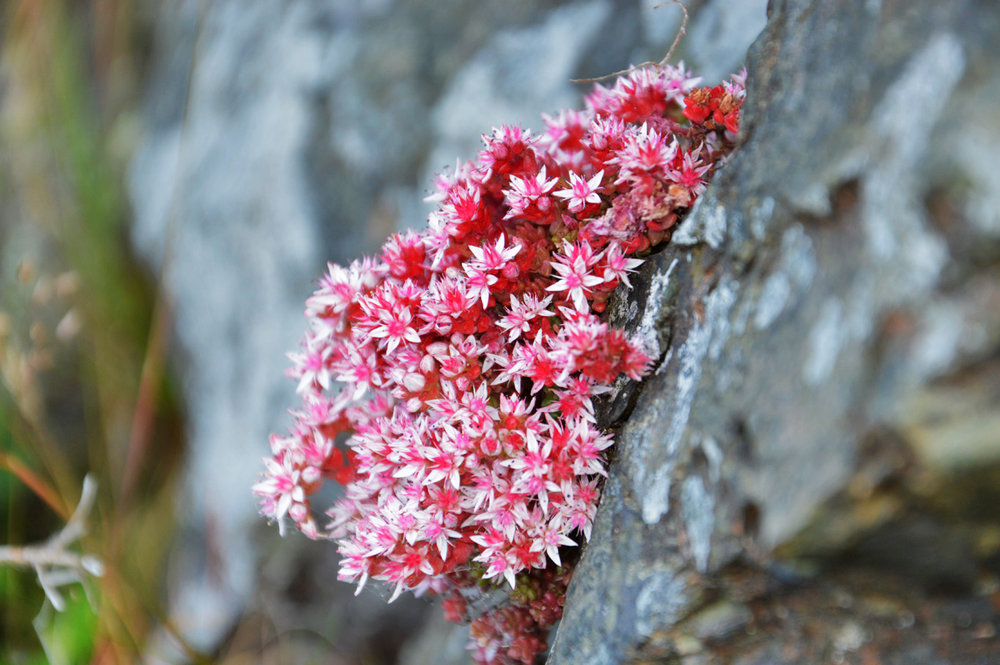 Wildflower on a rock