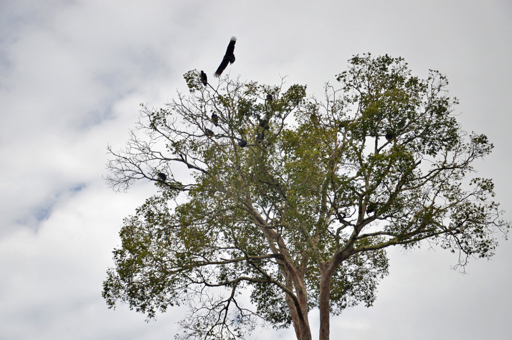 Vultures on a tree