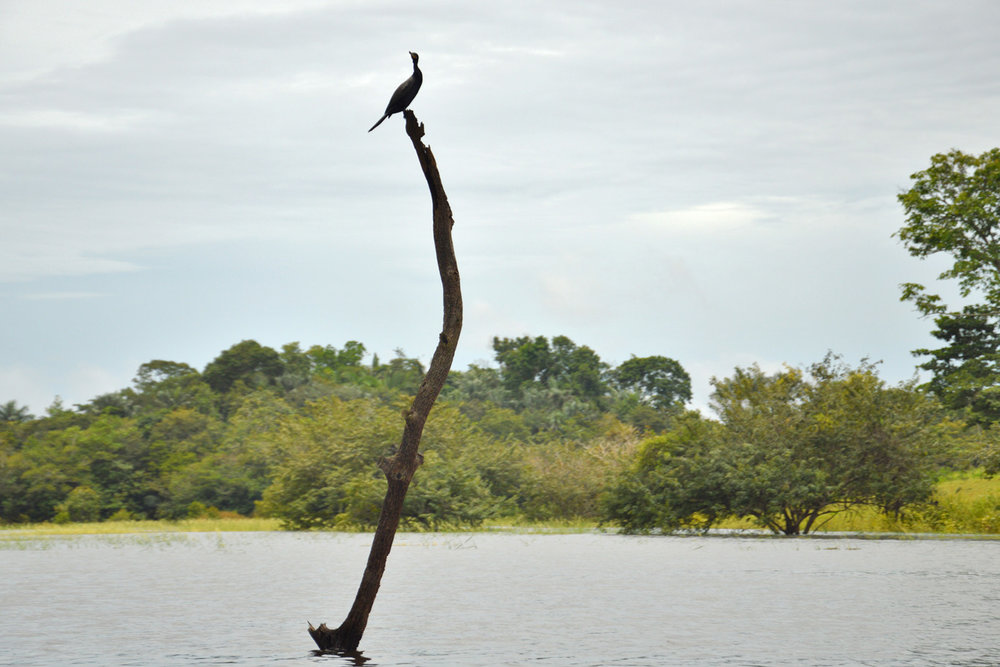 Bird on a dead tree in the middle of the river