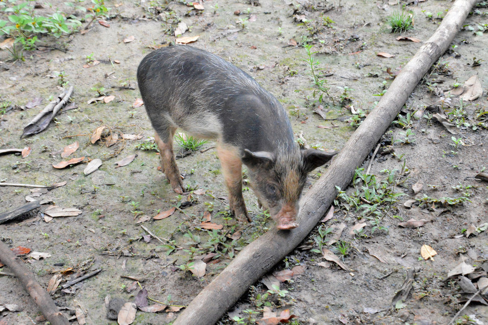 A piglet on a farm