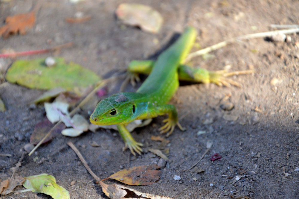 Green lizard found by the river