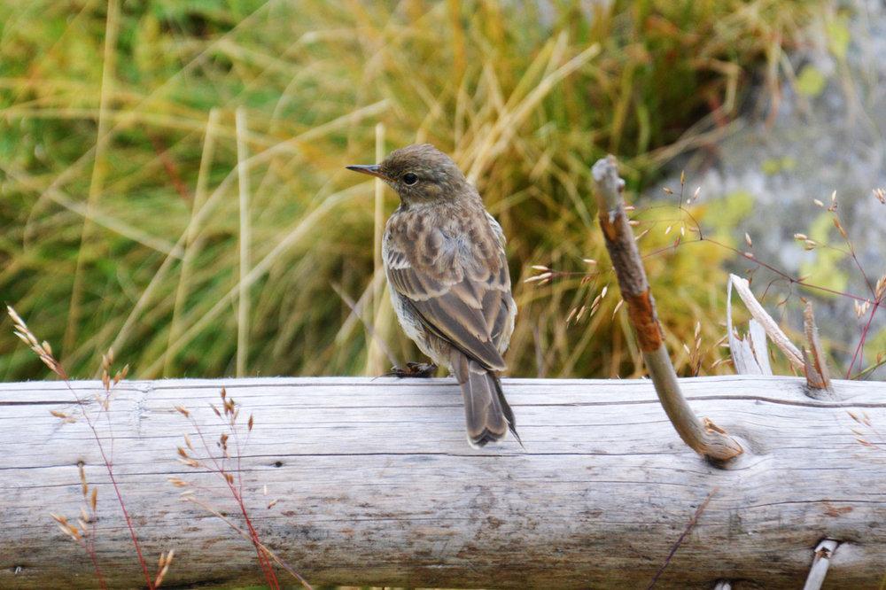 Sparrow at Czarny Staw