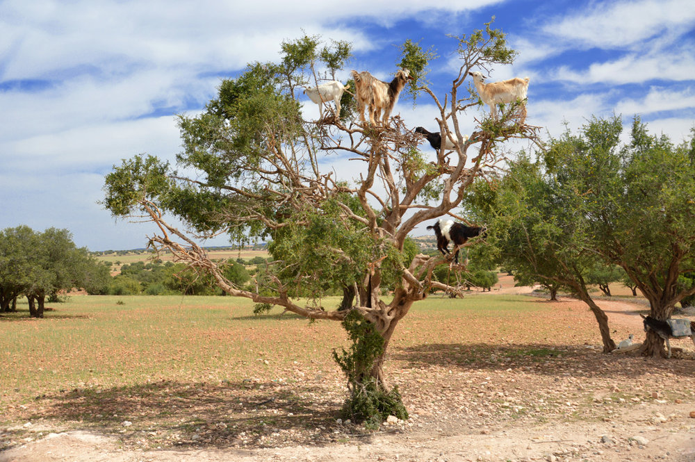 Goats on a tree on the way to Essaouira