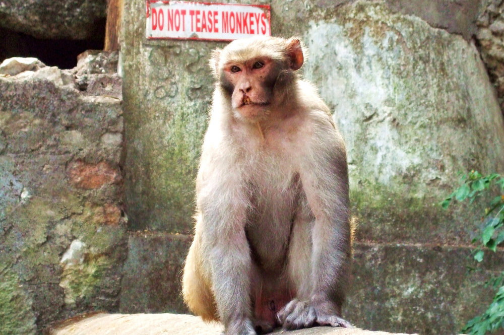Do not tease monkeys!