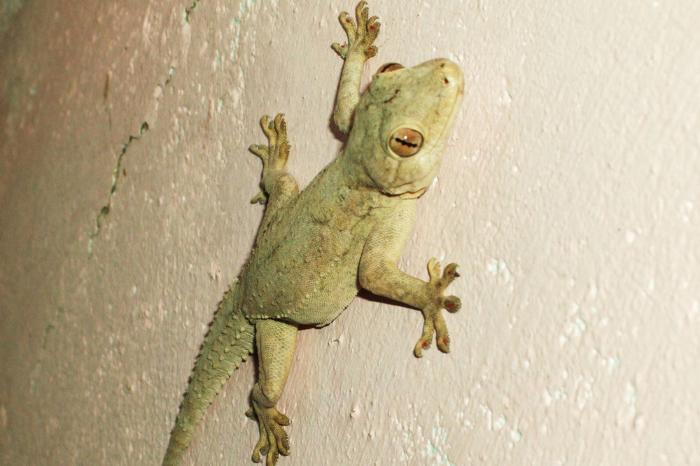 A lizard on the wall in the restaurant