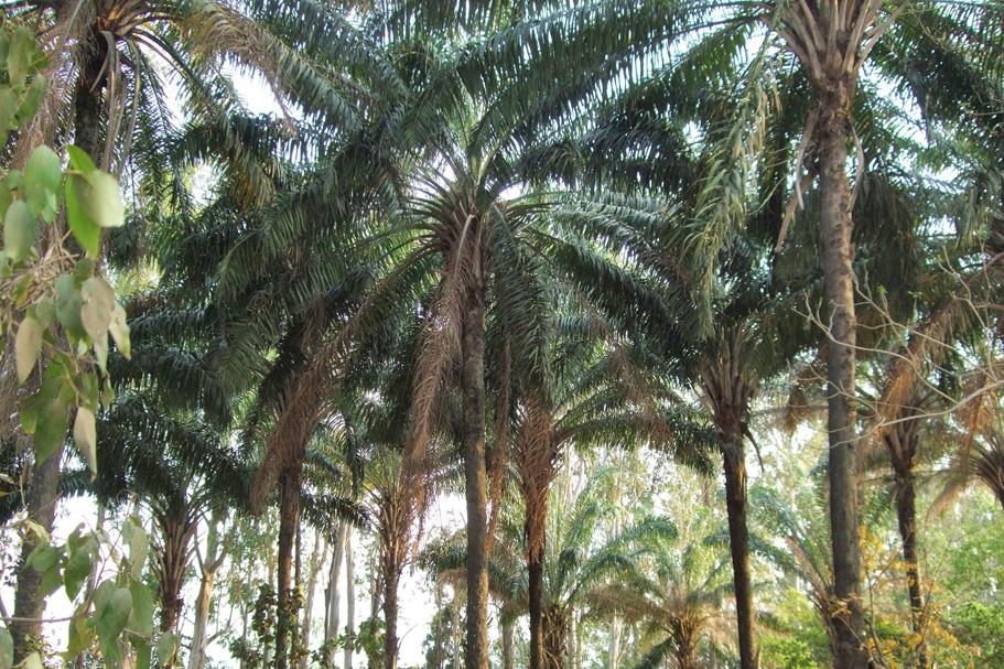 Palms in Padmapuran Gardens