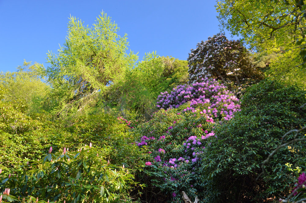 Wild rhododendrons