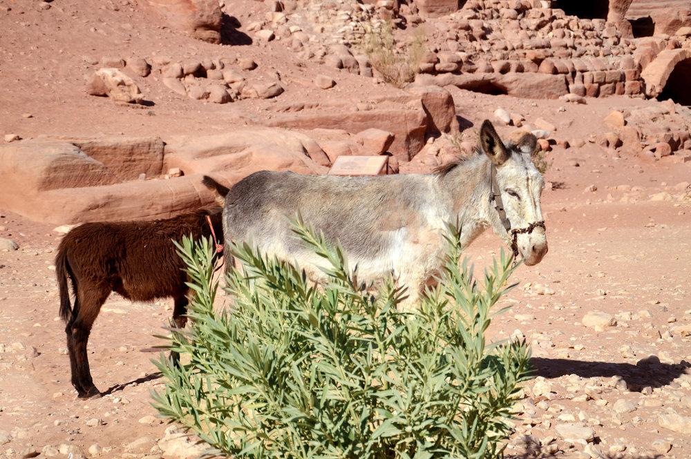 Donkeys in Petra