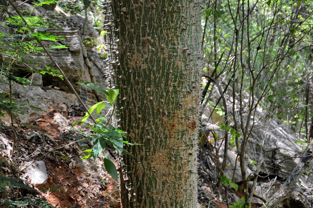 Árvore pontiaguda na floresta em frente da caverna