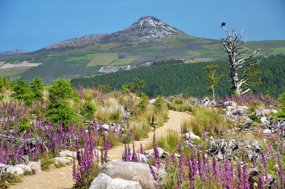 A carpet of flowers with Sugar Loaf in the background
