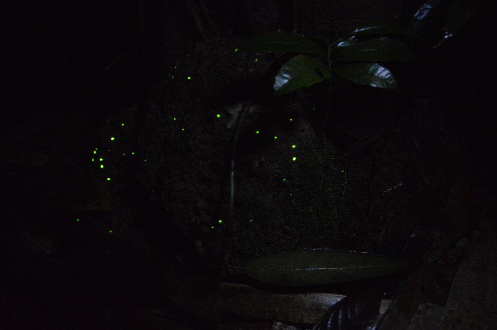 Glow-worms
