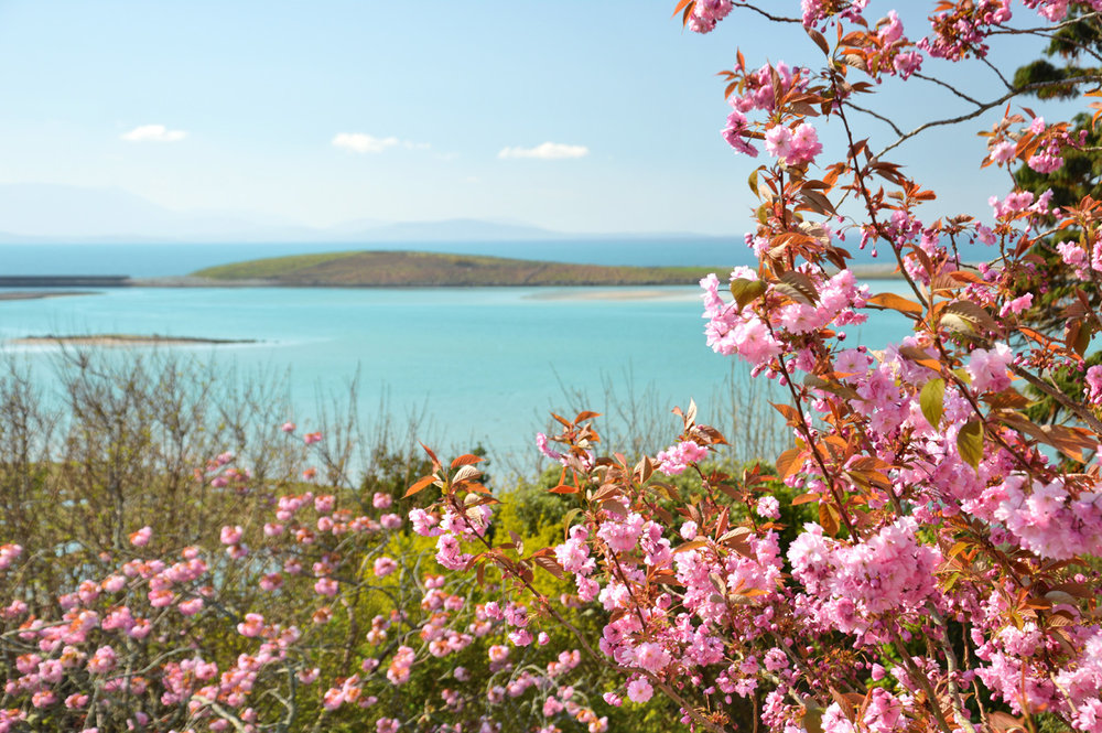 Beautiful cherry flowers and the sea