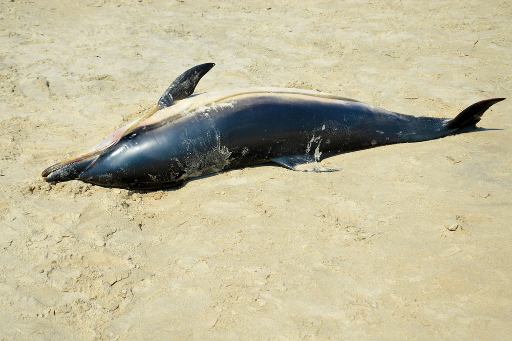 Dolphin thrown out by the sea