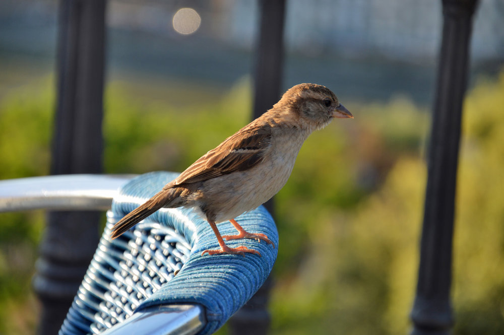 Sparrow at the viewing platform