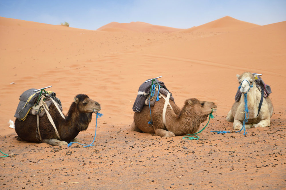 Camels resting in the desert