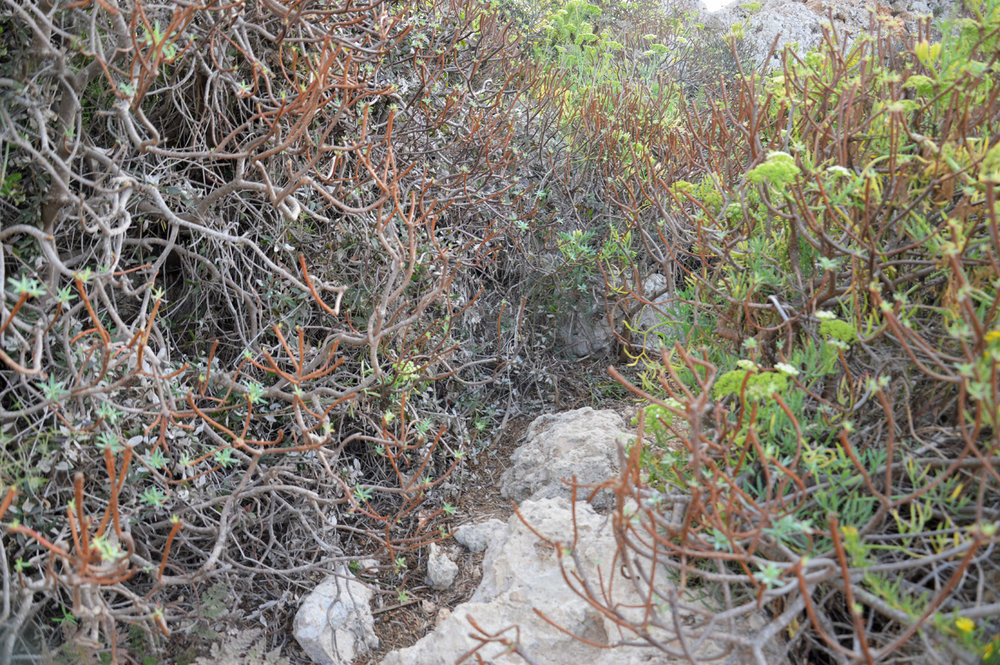 The narrow path among the succulent shrubs