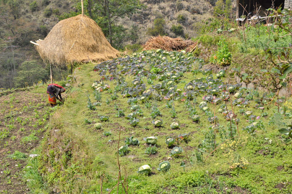 A woman working in the field of cabbage