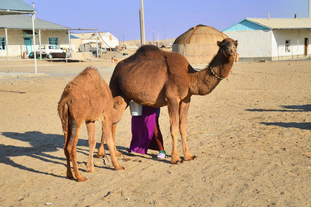 Camels in Erbent
