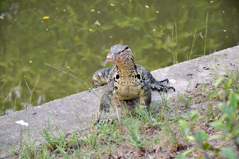 Large monitor lizard at a canal