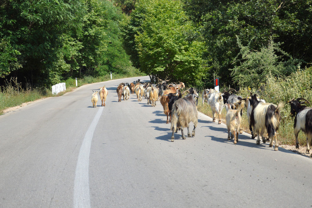 Goats - on the way to Kruja