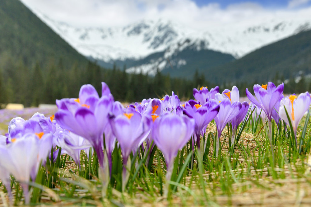 Beautiful crocuses with Tatra Mountains in the background