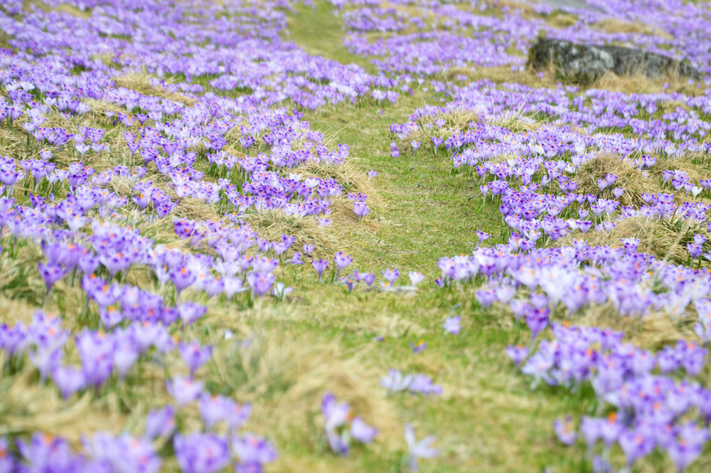 Beautiful carpet of crocuses
