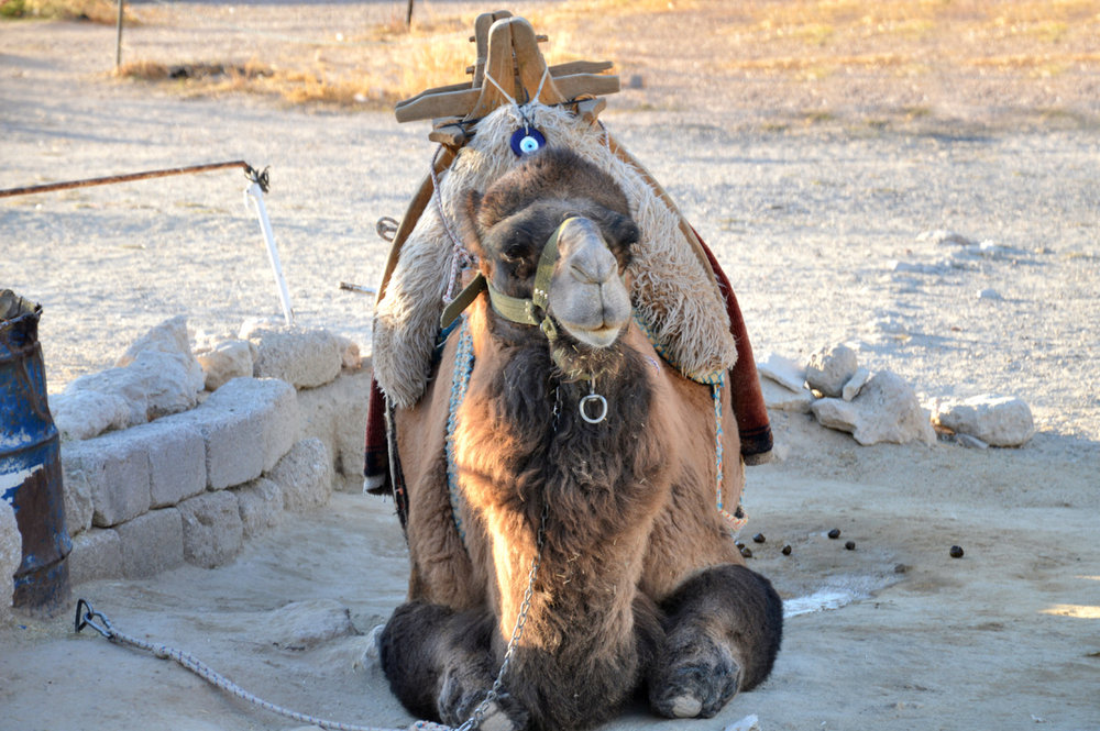 Camel in Esentepe