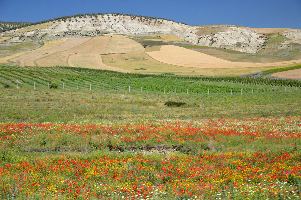 Colorful meadow full of poppy flowers